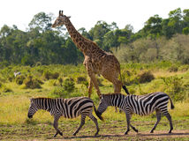 Giraffe in the savannah along with zebras. Kenya. Tanzania. East Africa. An excellent illustration royalty free stock photo