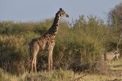 Giraffe in Savannah. Giraffe facing out in Savannah brush Royalty Free Stock Photo