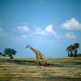 Giraffe. Savannah field africa grass bush tree herd stock photo