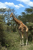 Giraffe in the savannah Stock Images