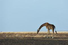 Giraffe in the savannah Royalty Free Stock Images