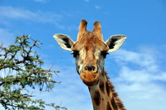 Giraffe  in savannah Royalty Free Stock Photo