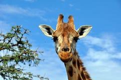 Giraffe  in savannah Royalty Free Stock Photo