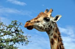 Giraffe  in savannah Royalty Free Stock Images