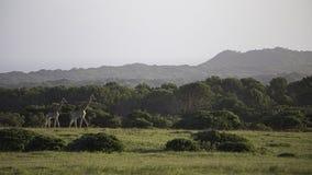 Giraffe on the Savannah. Giraffe Roaming Freely on the savannah plains Stock Photo