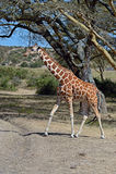Giraffe. In the savannah of Solio National Park in Kenya stock photography