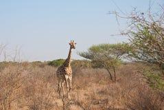 Giraffe in savannah Stock Image