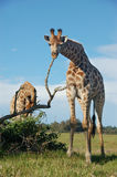 Giraffe scratching Royalty Free Stock Photos