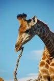 Giraffe scratching on stick Stock Image