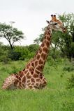 Giraffe se reposant dans le buisson Photographie stock libre de droits
