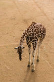 Giraffe searching for food Stock Image
