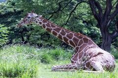 Giraffe seated languidly Stock Images