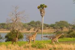 giraffe selous Стоковые Фото