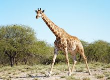 Giraffe selvagem no savann africano Fotografia de Stock Royalty Free