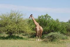 Giraffe In The Serengeti Stock Images