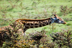 Giraffe in Serengeti stockfotos