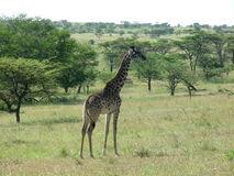 Giraffe in Serengeti Royalty Free Stock Photography
