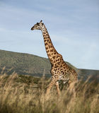 Giraffe at the Serengeti National Park Stock Photography