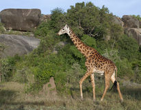 Giraffe at the Serengeti National Park Stock Photos