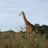 Giraffe at the Serengeti National Park Stock Images