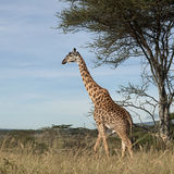 Giraffe at the Serengeti National Park Royalty Free Stock Images