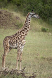 Giraffe in Serengeti National Park, Tanzania Royalty Free Stock Photo