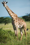 Giraffe at Serengeti national park, Tanzania, Africa Stock Photos