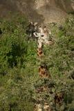 Giraffe am Serengeti Nationalpark lizenzfreies stockbild