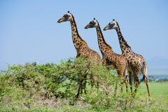 Giraffe in serengeti Stock Image