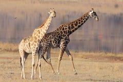 Giraffe shadow Royalty Free Stock Photography
