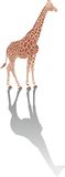 Giraffe with shadow Royalty Free Stock Image