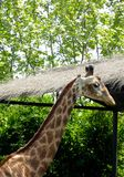 Giraffe at Shanghai wild animal park Royalty Free Stock Photography