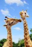 Giraffe sharing food. Stock Image