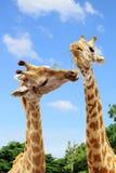 Giraffe sharing food. Stock Image