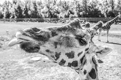 Giraffe showing his tongue in Quebec Royalty Free Stock Images