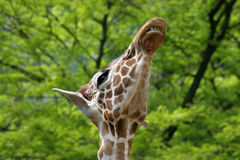 Giraffe showing its teeth Royalty Free Stock Image
