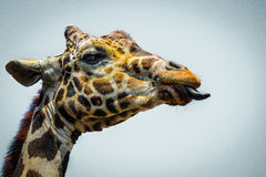 Giraffe showing its tongue closeup Royalty Free Stock Images