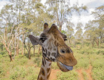Giraffe showing its tongue Stock Photography