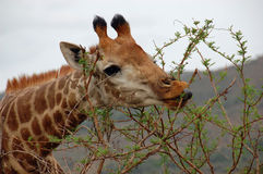 Giraffe showing it`s grey tongue while eating scrub. Giraffe showing it`s grey tongue while eating the leaves of a bush Stock Photo