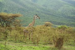 Giraffe showing tongue Royalty Free Stock Images