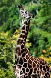 Giraffe side profile stock photography