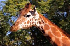 Giraffe - Side Profile of Head and Neck. Giraffe making Eye Contact - Side Profile of Head and Neck Royalty Free Stock Photo