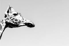 Giraffe - side profile monochrome. Side face photo of giraffe's head in b&w Royalty Free Stock Photos