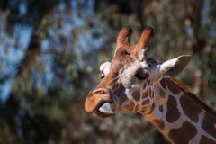 Giraffe side tongue Royalty Free Stock Photos