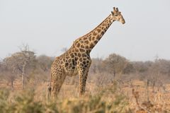 Giraffe side view Stock Photos