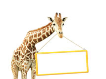 Giraffe with signboard Royalty Free Stock Images