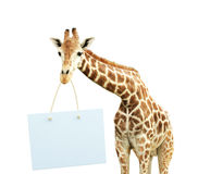 Giraffe with signboard Royalty Free Stock Image