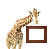 Giraffe with signboard Stock Image