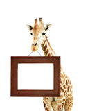 Giraffe with signboard Stock Photography