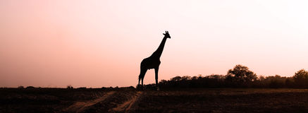 Giraffe Silhouette. At sunset in the african savannah Stock Photo